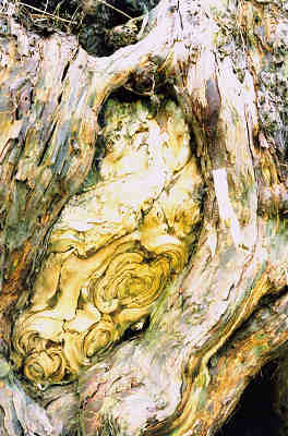 Detail of ancient yew in the Cranborne grove