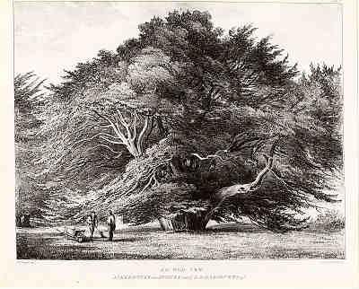 Yew at Ankerwycke, Middx. c.1840. Was it associated with the Magna Carta?