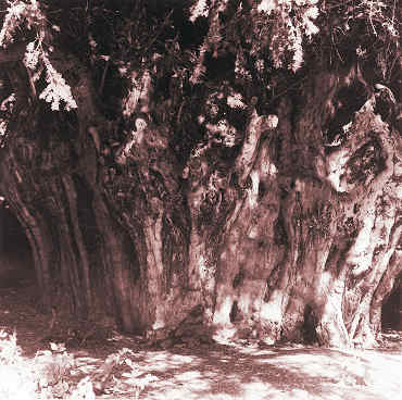 The Ankerwycke yew, 2001. Girth 30′11′′. Was this a 12th century tree? © Caroline Forbes