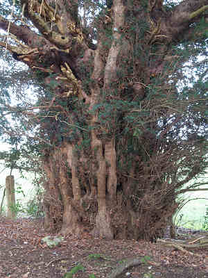 Ashampstead Common's largest girthed yew