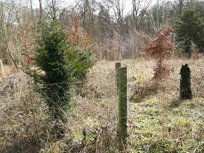 After two years the fenced trees are growing strongly and have lost their loo brush form