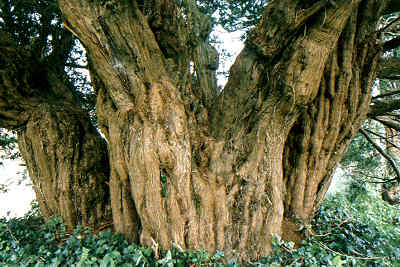 The Ashbrittle Yew © Tim Hills