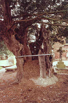 The Baschurch Yew © Tim Hills