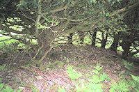 Another dense yew grove in Borrowdale showing the close proximity of trunk