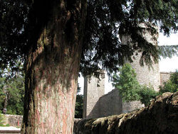 Mature yew at the first Knights Templar fortress in Europe: La Couvertoirade, Midi-Pyrenees,southern France.