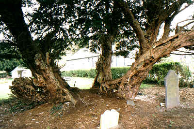 The Llangernyw Yew © Tim Hills