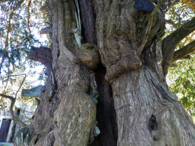 Ancient and Veteran Yew Trees, information and discussion