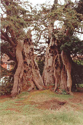 The Rotherfield Yew © Tim Hills