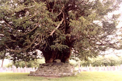 Of 39 'vast Ewgh trees' recorded at the time of Henry VIII only 2 remain. © Tim Hills