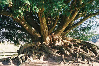 Yew tree growing from the rubble of Waverley Abbey in Surrey: 21′gbh